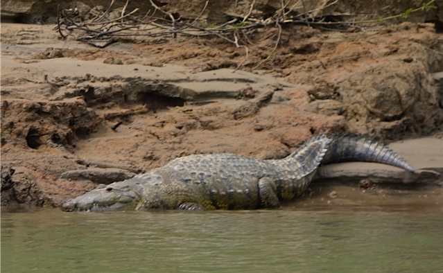 A well fed croc with his chin in the cool water.