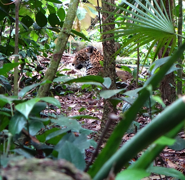 Spotted Jaguar, reluctant to come over to talk with us
