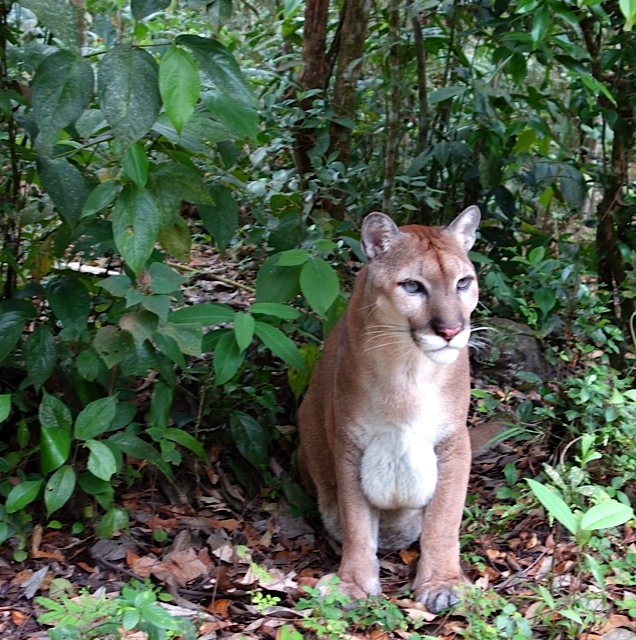 A mountain lion, or puma, or cougar--all the same animal and a killer of humans
