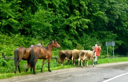 On their way out to pasture. Maramures, Romania
