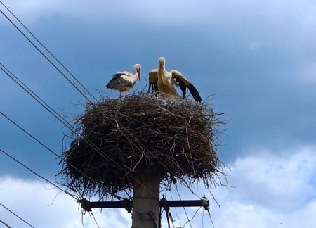 Mother and Father stork check on the babies.