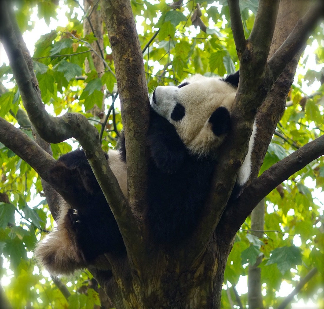 Oct 16. Chengdu Giant Panda Breeding and Research Center