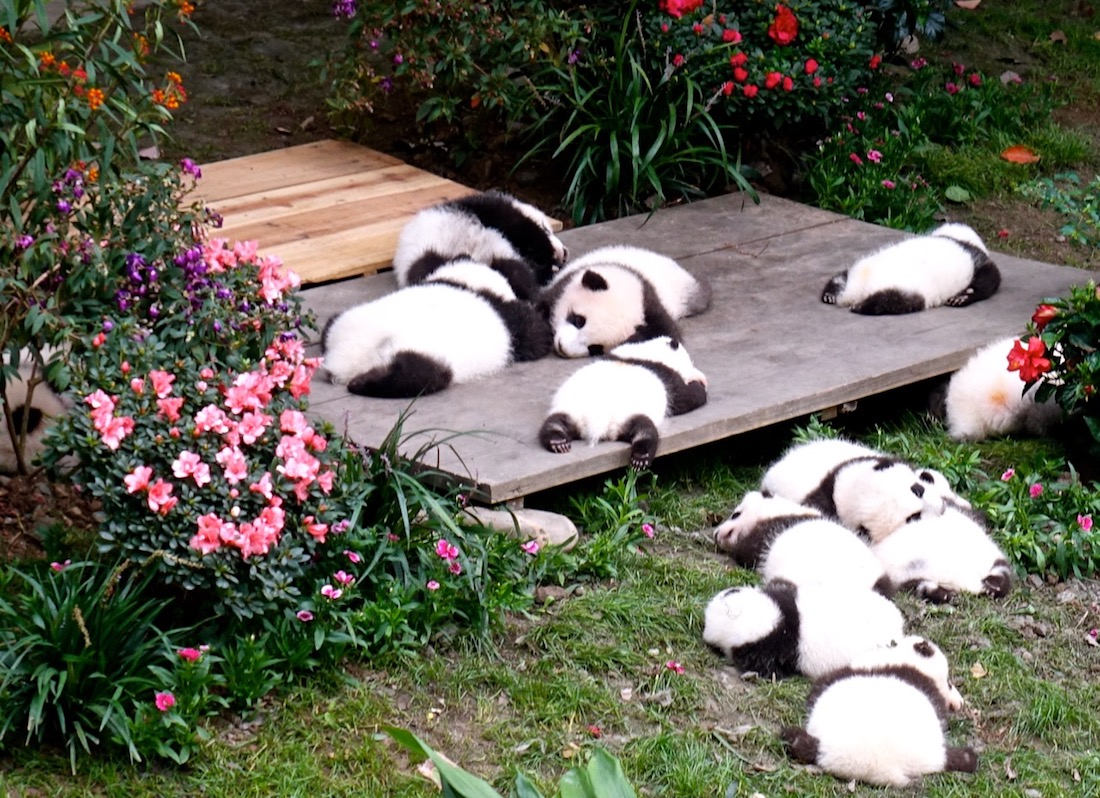 Oct 16. Chengdu Giant Panda Breeding and Research Center_3